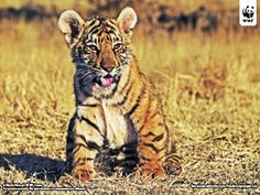 WWF - Tiger wallpapers