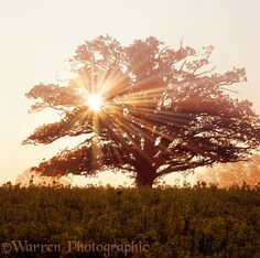 Oak tree with sunbeams photo