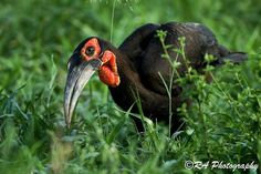 The amazing ground hornbill is the largest hornbill species on earth and a specialist at hunting large snakes and rodents on the ground.