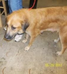 A16600061 is an adoptable Golden Retriever Dog in Waco, TX. Dogs that are adopted from the Humane Society of Central Texas (2032 Circle Rd, Waco, TX 76706) are checked by a kennel staff member, spayed...