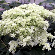 Hortensia+-+Hydrangea+arborescens+Hayes+Starbust