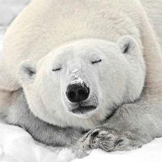Save the polar bears!!