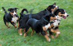 Beim Spiel fürs Leben Animals, Pictures, Entlebucher Mountain Dog, Game, Puppys, Pet Dogs, Animales, Animaux, Animal