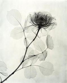 Dans les années 1930 le Dr. Dain L. Tasker, un radiologiste d'un hôpital de Los Angeles, a assouvi sa passion pour les fleurs en utilisant son outil de travail pour réaliser des centaines de radiographies qui les montrent en transparence. Il y a plus d'images à voir ici.