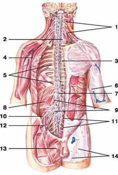 spinal nerves | human anatomy | anatomía osteomuscular | pinterest, Muscles