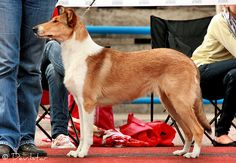 I'm not sure what good these pictures of smooth collies are doing me, but I still like them.