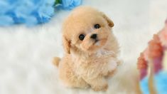 Watching funny baby dogs is the hardest try not to laugh challenge. Baby dogs are amazing pets because they are the cutest and most funny. This is the cutest. Toy Poodle Puppies, Dachshund Puppies, Cute Puppies, Cute Kittens, Funny Babies, Funny Dogs, Micro Poodle, Indoor Pets, Companion Dog