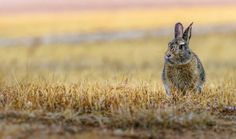 serious concentrated cottontail bunny rabbit in the yellow grass in