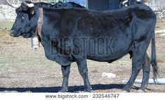 Black Bull With Cowbell In The Field    #animales #farmlife