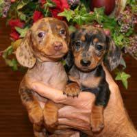 Yates' Dachshunds, Alabama ...can't believe how these two resemble two in our pack...maybe I should be concerned?