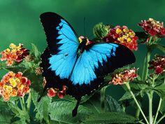 Blue Mountain Butterfly