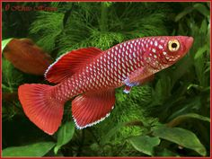 Red killifish