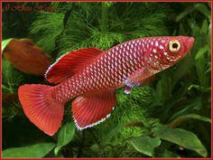 Nothobranchius Korthausae | Nothobranchius Korthausae Red - Romanian Killifish Association