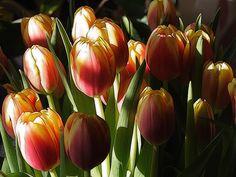 Tulips in a Vase - Brian Valentine @ flickr