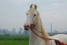 Marwari horse (indigenous horses of india): July 2010 Akhal Teke Horses, White Horses, Beautiful Horses, Animals And Pets, Equestrian, Pony, Around The Worlds, Champagne, Pearl
