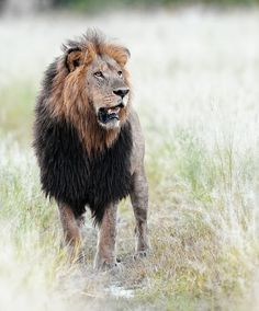 The Dominant One - Prowling Predators