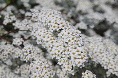 Spiraea arguta = spierstruik, bloemheester die 1.75 hoog kan worden. Bloemen -wit- in mei. Leent zich voor groepsbeplanting kan op vrijwel alle grondsoorten, wel in de zon.