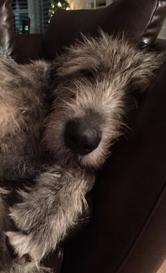Jack, 20 month old Irish Wolfhound
