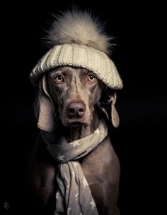 Weimaraner in a Hat and Scarf Puppy Dog Clothing / Dogs In Clothes #DogsInClothes