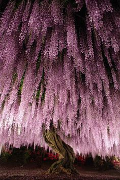 Wisteria floribunda 'rosea' a. Japanese wisteria at Ashikaga Flower Park, Japan. Native to Japan. (Tree) [Photo by KotHat] Beautiful World, Beautiful Places, Beautiful Pictures, Beautiful Gorgeous, Beautiful Flowers Pics, Parc Floral, Wisteria Tree, Wisteria Japan, Purple Wisteria