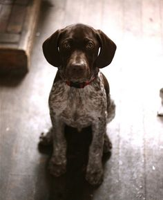german shorthaired pointer, reminds me of my dog when he was just a puppy