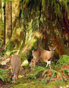 Blacktail deer in Quinault Rainforest, Olympic National Park.