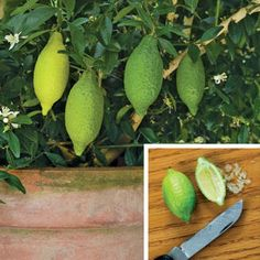 """Australian Finger Lime - $11.95, grows in a 6"""" pot and bears heavily after 1' tall"""
