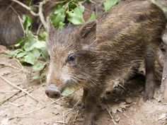 Italy - Lazio - Wild Boar (Cinghiale) from Circeo National Park