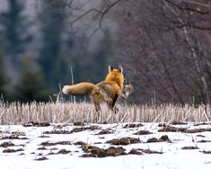 Although I haven't got the face in shot I really enjoy this image. It was taken on a particularly cold morning and it made me glad to see this fox with such a large meal.