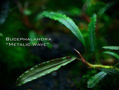 Freshwater Aquarium Plants, Planted Aquarium, Tropical, Water Plants, Fly Fishing, Fresh Water, Plant Leaves, Metallic, Waves