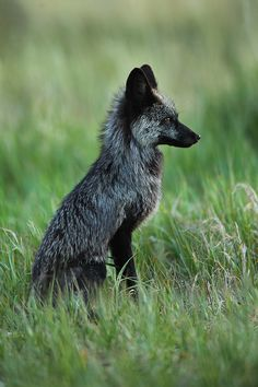 Onyx ~ Red Fox - Silver Phase (Vulpes vulpes) Silverthorne - Colorado by Nate…