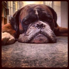 Our boxer Athos is having a really slow day at the office.