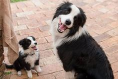 happy Border Collie and pup Border Collie Puppies, Collie Dog, Cute Puppies, Cute Dogs, Dogs And Puppies, Doggies, Border Collie Training, Animals And Pets, Cute Animals