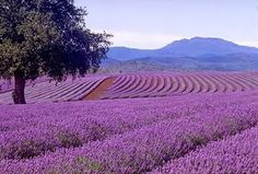 Organic Lavender Body Butter for Muscle Tension, Lavender Essential Oil in Cream, Lavender Oil Massage Butter, Lavender Oil Cosmetic Base – 2020 World Travel Populler Travel Country Lavender Fields, Lavender Color, Lavender Flowers, Lavender Oil, Lavender Pillow, Lavender Garden, French Lavender, Provence, Color Lavanda