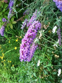 Butterfly Bush (buddleja davidii): Butterfly bush grow best in full sun and well drained soil. When the flowers are cut for bouquets, or the dried blooms snipped off, this will stimulate more, slightly smaller flowers on side branches.