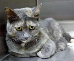 BUBBLES is an adoptable Dilute Tortoiseshell Cat in Marietta, GA. Bubbles is a beautiful girl and a more unusual muted torti, she also is sweet as can be! She came into the shelter as a stray on 6/17...