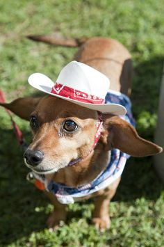Cowboy wiener dog :D Funny Cats And Dogs, Kittens And Puppies, Animals Beautiful, Cute Animals, Weenie Dogs, Doggies, Dachshund Love, Pet Clothes, I Love Dogs