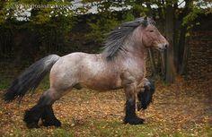 """brabant (bij ons belgisch trekpaard). bij hen bestaat een gezegde: """"all brabants (belgisch trekpaard) are belgians (vlaamse paarden, qua genotype idd zelfde ras) but not all belgians are brabants. dus vlaamse paarden en belgische trekpaarden zijn genetisch hetzelfde ras (genotype) maar al het andere (fenotype) allerminst."""