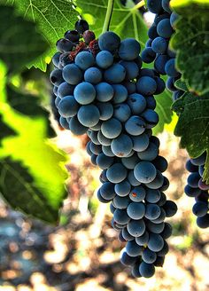 packlight-travelfar: Harvest Time by Dave. Fruit Plants, Fruit Trees, Fruit And Veg, Fresh Fruit, Temecula Wineries, Growing Grapes, Wine Art, In Vino Veritas, Harvest Time