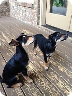 Manchester Terrier/Rat Terrier Mix Puppy for adoption in Decatur, Georgia - Carter & Bud