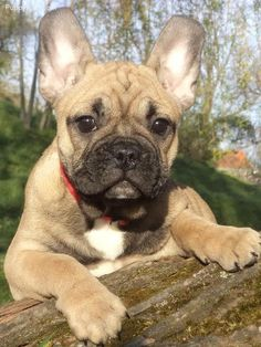French Bulldog Pictures (4727j03ze1s)