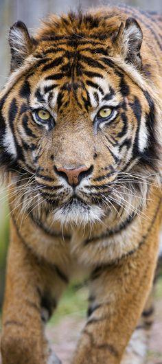 Male Sumatran tiger walking towards me |