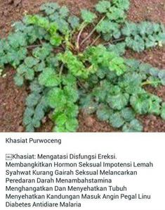 Khasiat Purwoceng Medical Quotes, Medical Art, Medical School Interview Questions, Home Remedies, Natural Remedies, Medical Laboratory Science, Nurse Gifts, Herbal Medicine, Diabetes