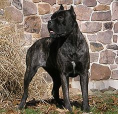 Forreal this time.. I have found my next dog! A Cane Corso Mastiff! They weigh out around 150lbs.. that's my kind of dog!