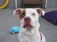 RICKY aka ROCKY - A1093574 - - Brooklyn  Please Share:TO BE DESTROYED 10/26/16 A volunteer writes: Ricky has one blue eye and the wiggle of a puppy! He was with his previous owner since he was just a babe and was sadly surrendered to us because they no longer had time to care for him. We're told he is mellow, very affectionate and warms up very quickly to new people. He loved to follow his family around the house, and would solicit attention by waiting for them in bed