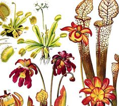 Venus Fly Trap Pitcher Carnivorous Plant Flowers North American Botanical Exotica 1969 Vintage Print Illustration To Frame 158