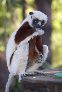 lemur- Zaboomafo with the Kratt Brothers