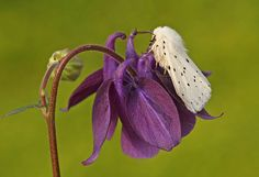 White Ermine, Spilosoma lubricipeda  Garden mothing 2010 #14, 22 May by nutmeg66, via Flickr