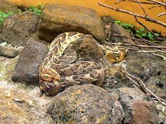Two Puff Adder Snakes