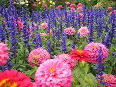Beautiful Blue Salvia Flowers Planted With Pink Zinnias